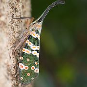 Pyrops spinolae lantern bug in Huai Kha Khaeng Wildlife Sanctuary, Thailand.