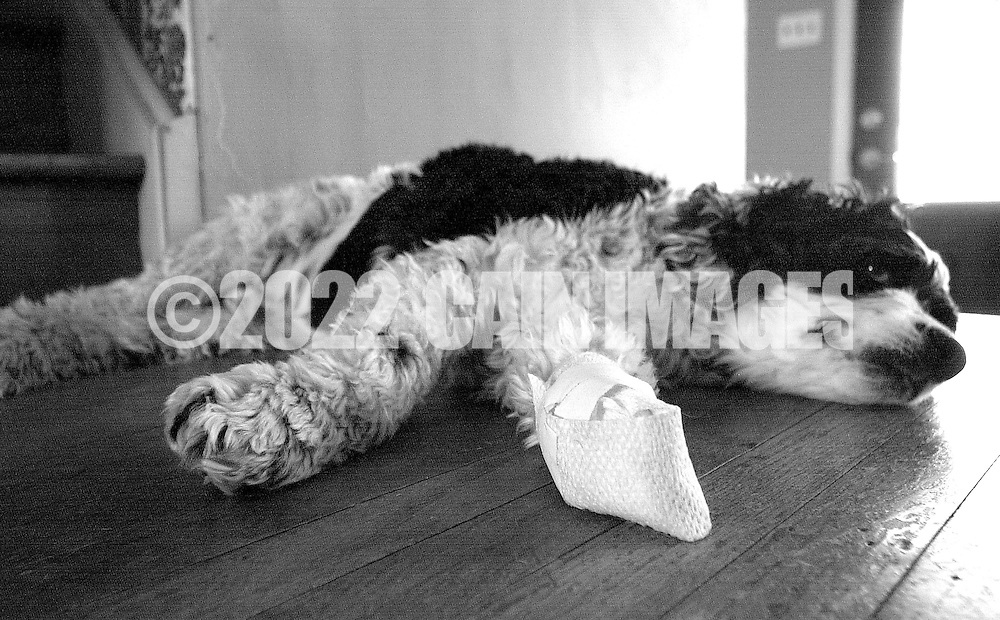 HARTSVILLE, PA - MARCH 27: Cooper the cocker spaniel lies on the floor bandaged and awaiting his trip to the veterinarian March 27, 2014 in Hartsville, Pennsylvania. (Photo by William Thomas Cain/Cain Images)