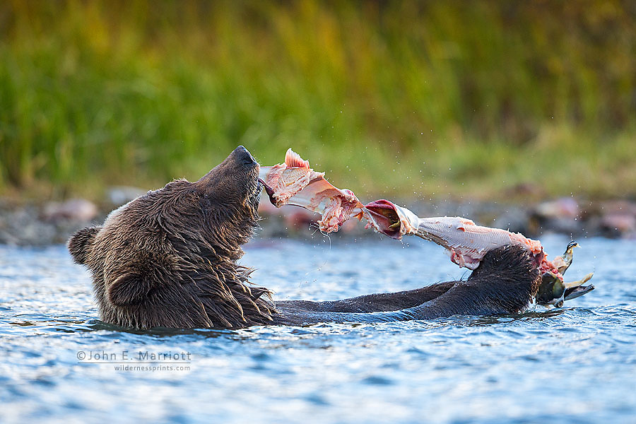 Grizzly bear eating sockeye salmon, British Columbia, Canada