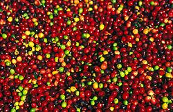 Areado, Minas Gerais, Brasil. 07/2002. .Lavoura de cafe, Catuai Vermelho./ Coffee farm..Foto © Marcos Issa/Argosfoto
