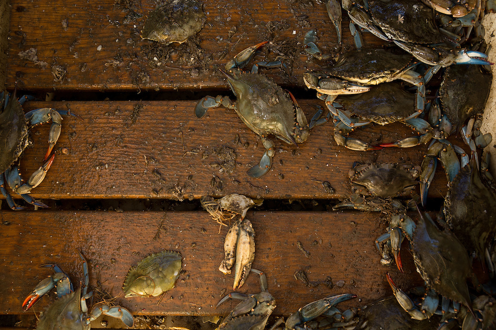 Chesapeake Blue Crabs | October 11, 2015