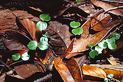 Seedlings among rainforest litter in Lambir Hills National Park, Borneo, Sarawak, Malaysia