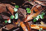 Seedlings among rainforest litter in Lambir Hills National Park, Borneo, Sarawak, Malaysia