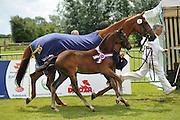 Huwerna<br /> Centrale Keuring Vrouwenpolder 2012<br /> © DigiShots - Esmee van Gijtenbeek