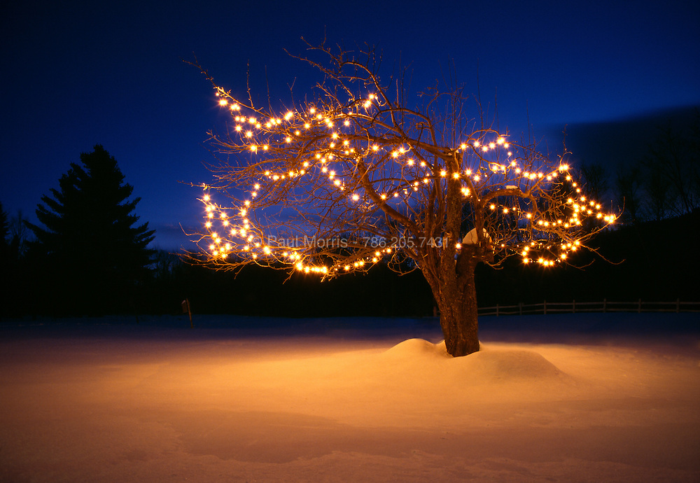 Aplle tree in the snow with Christmas lights on at twilight