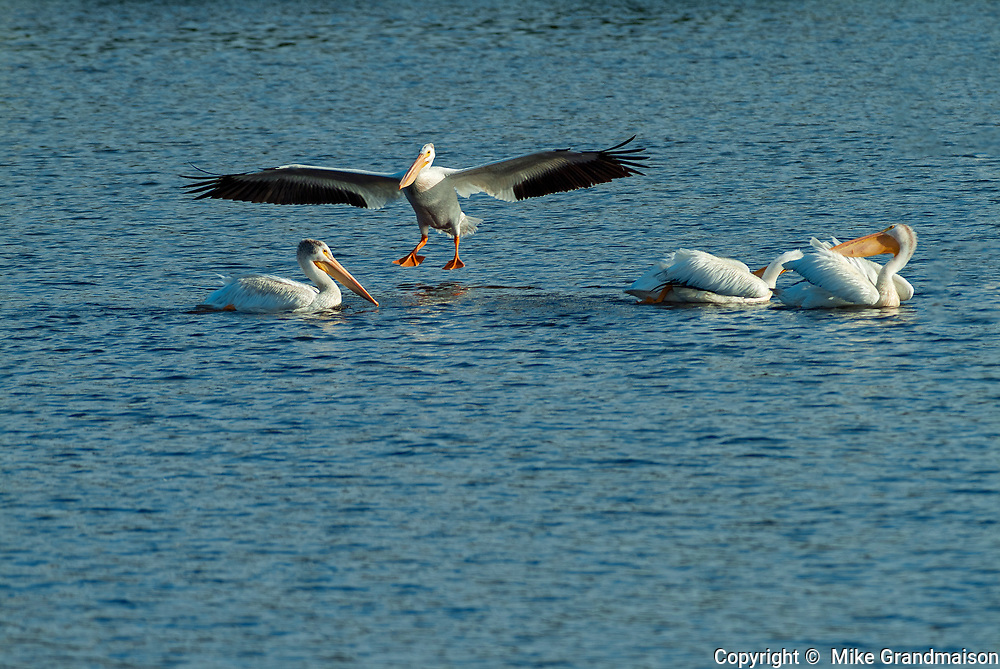 American white pelican (Pelecanus erythrorhynchos) on Lake of the Woods<br />Nestor Falls<br />Ontario<br />Canada