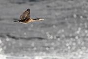 Cormorant in flight   Skarv i flukt