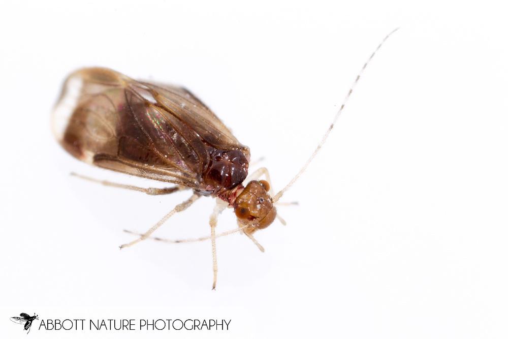 Bark Louse (Polypsocus corruptus) - female<br /> ALABAMA: Lee Co.<br /> Opelika<br /> 22-Nov-2014<br /> J.C. Abbott &amp; K.K. Abbott