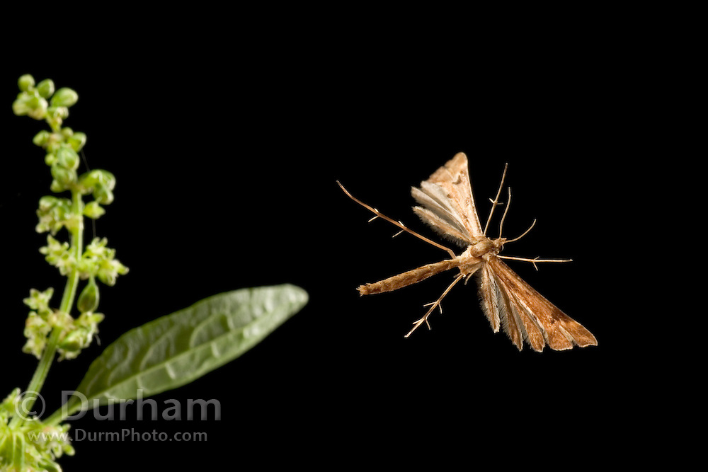 A plume moth (Gillmeria pallidactyla) flying on a warm summer night. Coastal mountains of Oregon.