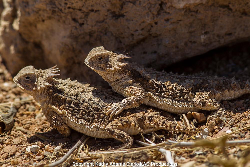 Regal horned lizard, Phrynosoma solare, mating, southern Arizona.