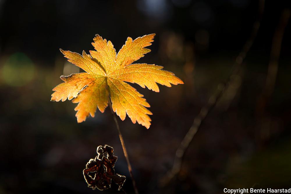Høstfarger, blad av skogstorkenebb (Geranium sylvaticum).