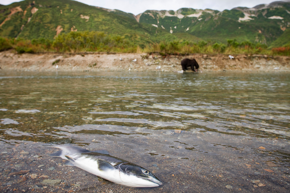 USA, Alaska, Katmai National Park, Kukak Bay, Chum Salmon (Oncorhynchus keta) lying dead in spawning stream near Brown Bear (Ursus arctos) on autumn afternoon