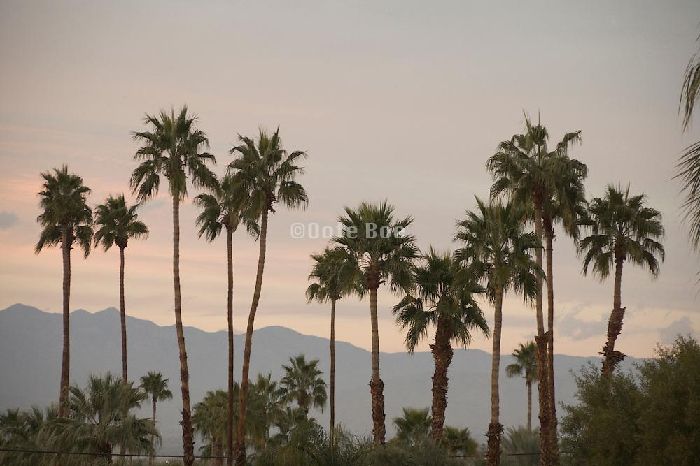 palm trees at sunset California USA