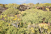 Euphorbia balsamifera Kleinia Nerifolia growing on lava flows Malpais de Corona, Lanzarote, Canary Islands, Spain