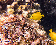"The yellow tang, or Lau'ipala (Zebrasoma flavescens in the surgeonfish family, Acanthuridae). Zebrasoma flavescens is one of the most popular fish species for saltwater aquariums. Hawaii sources up to 70% of the aquarium industry's yellow tangs. ""flavescens"" means yellow in Latin. The yellow tang is commonly found in shallow reefs in the Pacific and Indian Oceans, west of Hawaii and east of Japan. It has been seen in waters around Florida, where it is not native. Snorkel at Two-Step (Pae'a) on Honaunau Bay, located across Keoneele Cove from Pu'uhonu O Honaunau National Historical Park (""Place of Refuge""), on the Big Island of Hawaii, USA. Address of Pae'a: 84-5571 Honaunau Beach Rd, Captain Cook, HI 96704."
