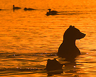 Two silhouetted brown bears sitting in the water at sunrise.