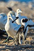 African Penguin walking amongst nesting Cape Gannets, Bird Island, Algoa Bay, Eastern Cape, South Africa