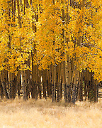 Aspen grove in Autumn. Valle Vidal, Carson National Forest in northern New Mexico.