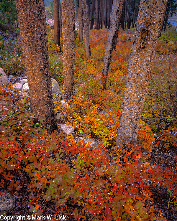 Fall colors surrounds the base of a lodge pole pine grove near Little Redfish Lake in the Sawtooth National Forest.