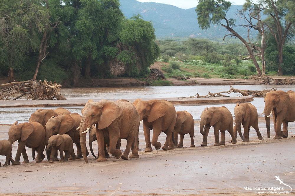 A herd of elephants crosses the floodplain in Samburu National Reserve, Kenya