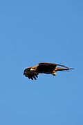 Indian Black Kite raptor bird, Milvus Migrans, in the sky above Lake Pichola in first light of early morning, Udaipur, Rajasthan, India