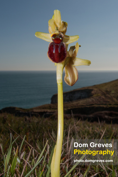 Early spider orchid (Ophrys sphegodes). Isle of Purbeck, Dorset, UK.