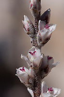 Hechita Scariosa grows only in the Big Bend region of the United States.