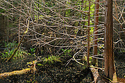 Wetland. Near Sechelt. Sunshine Coast.<br /> <br /> Smuggler Cove Marine Provincial Park<br /> British Columbia<br /> Canada
