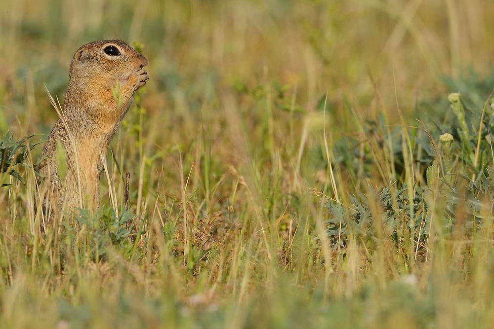 Suslik or European ground Squirrel, spermophilus citellus, Sakar mountains, Eastern Rhodope mountains, Bulgaria