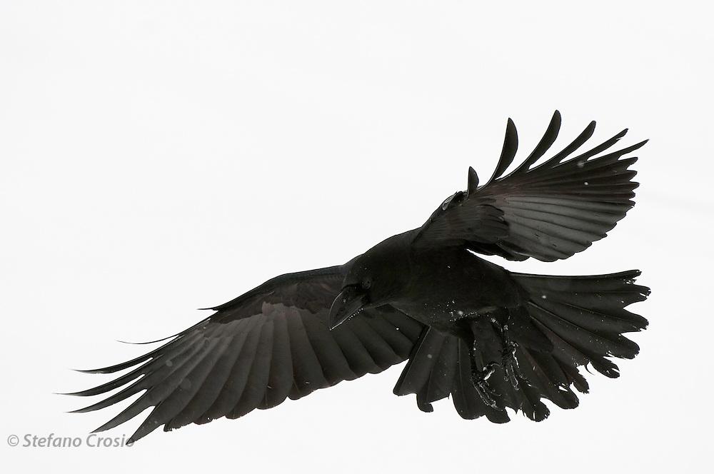 JAPAN, Eastern Hokkaido.Raven (Corvus corax) in flight