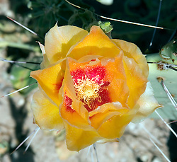 Big Bend National Park, Texas:  Prickly Pear cactus in bloom in the south Texas desert.