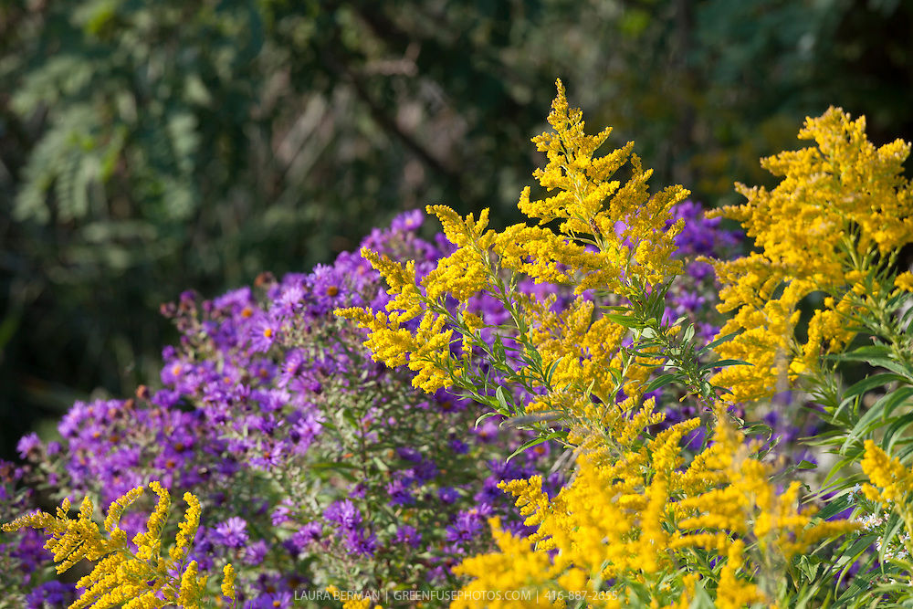 Canada goldenrod (Solidago canadensis) and purple asters, signs of late summer/early autumn in eastern North America.