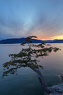 Sunset from Juniper Point at Lighthouse Park in West Vancouver, British Columbia, Canada. In the background you can see the Grebe Islets, Bowen Island, and the mountain peaks in the Sunshine Coast's Tetrahedron Range.  Judging from the cones the tree in the photograph looks to be a stunted Douglas Fir (Pseudotsuga menziesii) and not a Juniper.