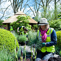 London, UK - 16 May 2013: Mary-Lucie works setting up plants in the 'M&G Centenary Garden' designed by Roger Platts during the preparations for the RHS Chelsea Flower Show 2013 edition