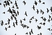 Dusky-headed Parakeet (Aratinga weddellii) flying<br /> Yasuni National Park, Amazon Rainforest<br /> ECUADOR. South America<br /> HABITAT & RANGE: Woody habitats of western Amazon Basin of South America