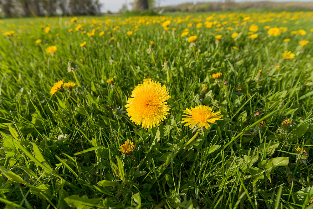 Dandelion (Taraxacum officinale) filled yard, wideangle close-up