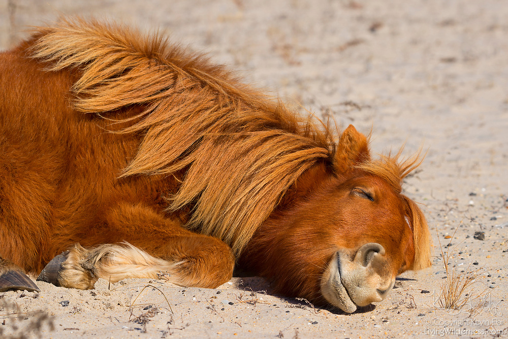 An Assateague horse (Equus caballus), also known as a Chincoteague pony, takes a nap on a sand dune in the Assateague Island National Seashore, Maryland. About 300 wild — technically feral — ponies roam Assateague Island on the Atlantic coast. There is some dispute as to how the ponies ended up on the island. Some researchers believe the ponies are survivors of the wreck of a Spanish galleon, La Galga, which sank just off the coast in 1750; the U.S. Fish and Wildlife Service believes they are descendants of horses owned by early colonial settlers.