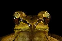Frog (Rana (Papurana?) grisea)