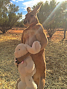 """Forget Dave, meet Roger: After giant grey kangaroo is pictured stalking suburbia, a SIX FOOT red rival weighing 14 stone emerges - who crushes buckets for fun<br /> <br /> It's the battle of the giant kangaroos. Just a week after pictures of a 2m eastern grey stalking suburban streets emerged, a challenger has stepped forward - and he's not shy to flex his muscles.<br /> Roger the red kangaroo weighs a whopping 89kg and stands 2.007m tall from top to tail - almost exactly the same height as Dave, the east coast's behemoth who wanders the streets, startling dog walkers and golfers alike. But Roger is only nine years old.<br /> To show off his prowess, Roger, who lives at The Kangaroo Sanctuary Alice Springs in the Northern Territory, likes to crush metal buckets with his bare paws to workout - while staring menacingly at the camera. <br /> <br /> And Dave better be careful because Roger is trained in hand-to-hand combat and can disembowel his opponent with a well-placed kick, according to sanctuary manager Chris 'Brolga' Barnes.<br /> 'His daily exercise regime is sparring [kickboxing] his rivals and chasing his human 'Mum', me,'<br /> <br /> But Roger might be no match for his eastern grey opponent who tips the scales, weighing in at a massive 95 kilograms.<br /> Though soon Roger will be undefeated as Brolga expects the nine-year-old alpha male to grow bigger as he gets older. <br /> It is a far cry from the baby joey Brolga rescued in 2006 after finding his mother dead on a highway.<br /> A recent photograph also posted on social media shows a young Roger cradled in a carer's hands.  <br /> <br /> The now more mature kangaroo showed off his softer side earlier this year when he was pictured hugging a stuffed toy bunny he had received from a fan just before Easter.<br /> 'When I gave it to him he snatched it off me really quickly and proceeded to attack it, giving it a """"bear hug"""" and wrestling it, even hugging it and kicking out as he would do in kick boxing match,"""