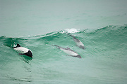 Commerson's dolphin (Cephalorhynchus commersonii) [size of single organism: 1,40 cm]  | Commerson-Delfin (Cephalorhynchus commersonii)