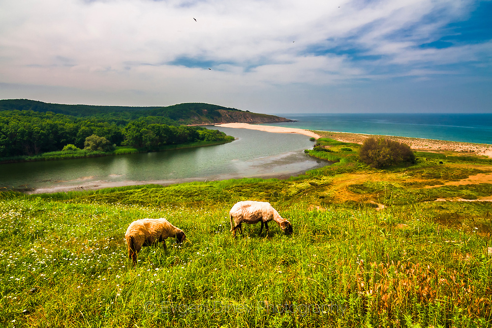 Two sheep greazing by the river mouth