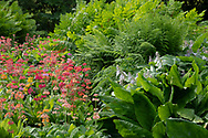 Primula Candelabra, multi-coloured primulas and Hostas in the bog garden at Forde Abbey, Chard, Dorset, UK