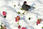 © Licensed to London News Pictures. 21/01/2013. Westminster, UK A morehen picks it's way through snow covered flowers. Snow in the Royal Park, St James Park, in Central London today 21 January 2013. Photo credit : Stephen Simpson/LNP