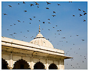 Pigeons flying over the Red Fort. Delhi, India.