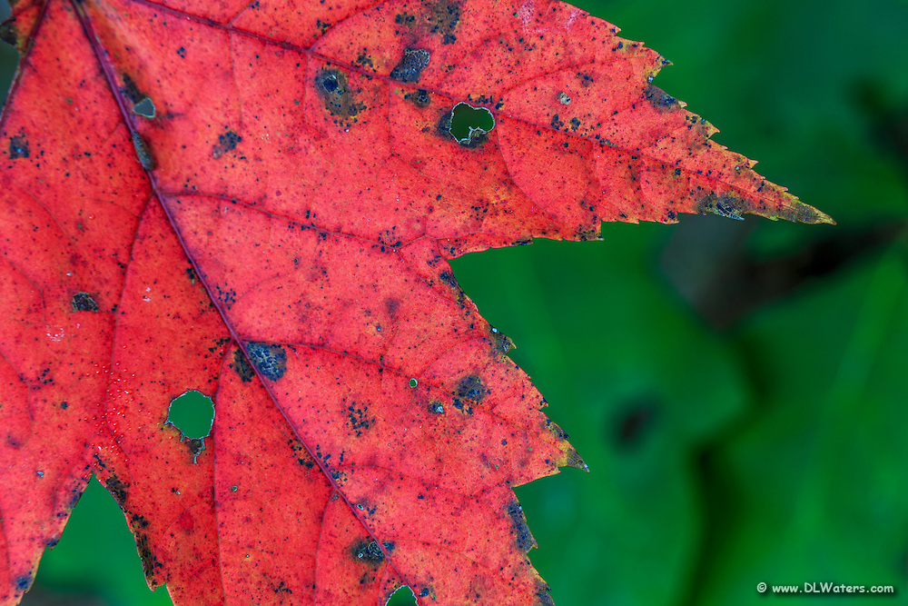 Close-up of a red Maple leaf.