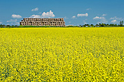 bales and canola crop in bloom<br /> near New Liskeard<br /> Ontario<br /> Canada
