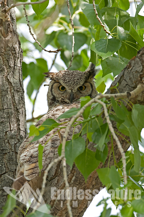 Adult Great Horned Owl rests in a tree alongside a lake that many people visit.