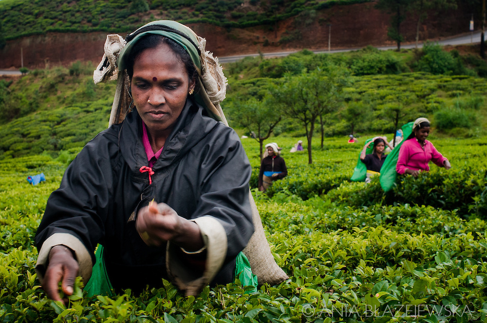 Sri Lanka, Nuwara Eliya. Tea picker -women working on tea plantations nearby Nuwara Eliya.