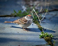 Chipping Sparrow. Image taken with a Nikon D5 camera and 600 mm f/4 VR lens (ISO 320, 600 mm, f/4. 1/1250 sec)