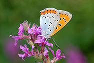 Large Copper - Lycaena dispar batavus